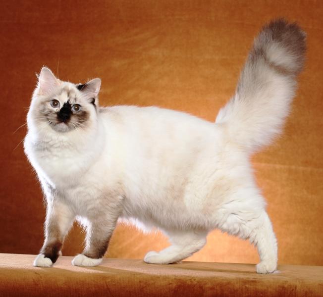 CAJUN RAGDOLLS CATS