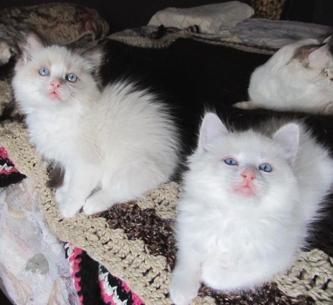 Page 5 Ragdoll kittens