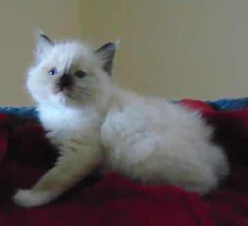 CURRENT-KITTENS-AVAILABLE